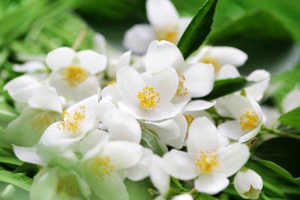 Сьогодні рівнянам радять слідкувати за цвітом жасміну